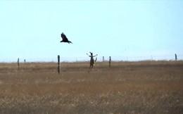 Thế giới động vật: Kangaroo lao tới tấn công chính kẻ săn mồi