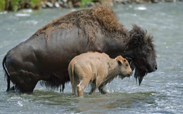 Thế giới động vật: Cảm động cảnh bò rừng lấy thân che chở cho con