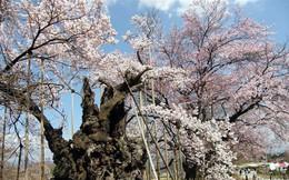 Chiêm ngưỡng báu vật quốc gia của 'xứ sở mặt trời mọc': Cây hoa anh đào khổng lồ đẹp nhất thế giới, thọ nhất thế giới với tuổi đời 1800 năm