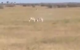 Video: Linh dương tranh đấu, báo săn thừa cơ đoạt mạng