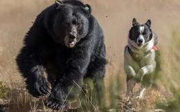 """Bị bầy chó mệnh danh """"kho báu quốc gia"""" truy đuổi, gấu đen có hành động lạ đời"""