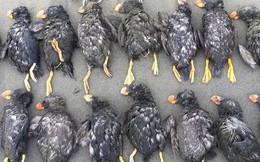 Hàng trăm con hải âu biểu tượng của Bắc Cực chết dạt bờ, nhưng điều buồn nhất là câu chuyện sẽ ngày càng tồi tệ hơn