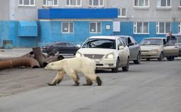 24h qua ảnh: Gấu Bắc cực lạc đi trên đường phố ở Nga