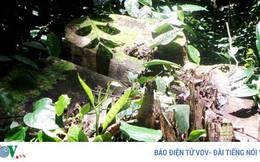 Chủ tịch xã bị kỷ luật vì quyết định cho chặt một cây cổ thụ