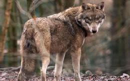 Quá đói bụng, đàn sói Mỹ chuyển qua săn cá