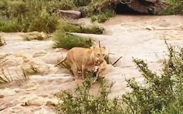 VIDEO: Sư tử mẹ tha con vượt sông chảy xiết