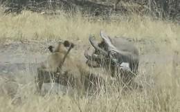 VIDEO: Màn giao chiến ác liệt giữa linh dương với sư tử