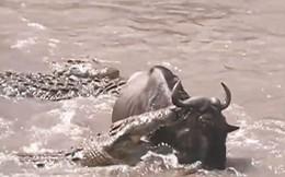 VIDEO: Linh dương đầu bò thoát chết ngoạn mục trước hàm cá sấu