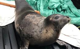 Hiện tượng đáng lo ngại: Hơn 40 con hải cẩu chết đói vì mắc kẹt ở Canada