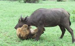 5 pha săn mồi chớp nhoáng của sư tử