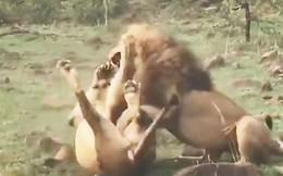 VIDEO: Màn giao đấu ác liệt giữa 2 con sư tử đực