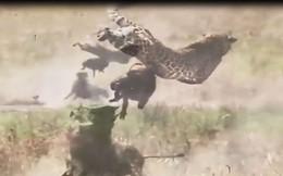 VIDEO: Lợn rừng liều mạng tấn công báo, giải cứu con
