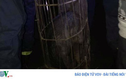 Bắc Kạn: Lợn rừng lai sổng chuồng tấn công người gây náo loạn