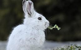 Video ghi lại cảnh thỏ ăn thịt đồng loại làm bất ngờ giới khoa học