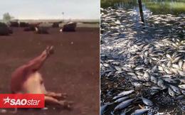1000 con bò ở Argentina 'đột tử', cá chết trải dài 40 km ở Australia vì cùng một nguyên nhân này