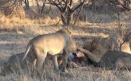 VIDEO: 4 sư tử đực tấn công 1 con sư tử cái