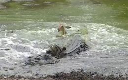 VIDEO: Cá sấu săn linh dương trong 'một nốt nhạc'
