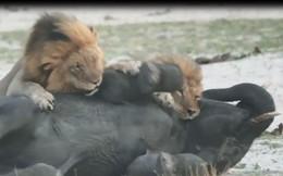 VIDEO: Đàn sư tử tấn công voi con và cái kết bất ngờ