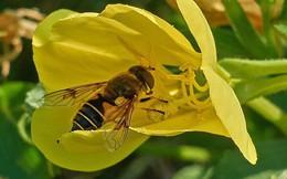 Phát hiện đầy bất ngờ: Hoa cũng biết nghe ngóng, chọn lọc các loài ong rồi tự khiến mật ngọt hơn