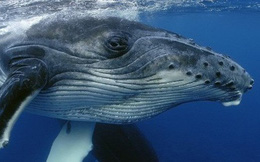 Cá voi thực chất là DJ đại tài: Luôn remix lại nhạc của nhau để ra bài mới