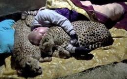 Liều mạng ngủ giữa rừng rậm châu Phi, người đàn ông được cả bầy báo săn vây quanh sưởi ấm