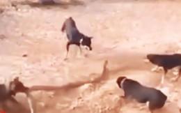 VIDEO: Những màn giao đấu ác liệt giữa chó với rắn, trăn