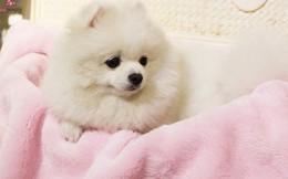 Spa làm đẹp cho thú cưng hốt bạc, kín lịch ngày cận Tết