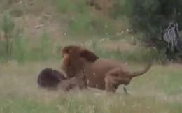 VIDEO: Cuộc chiến 'sống còn' giữa gấu với sư tử