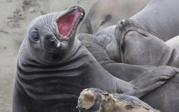 Lợi dụng chính phủ Mỹ đóng cửa, 60 con hải tượng chiếm luôn bãi biển nổi tiếng ở California và không chịu rời đi