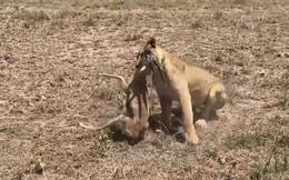 VIDEO: Sư tử trổ tài săn linh dương Gazelle
