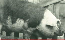 Những chú lợn ghi dấu ấn trong lịch sử