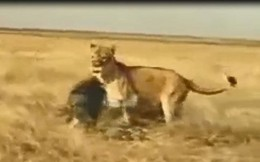 VIDEO: Lợn rừng phản đòn khiến sư tử bỏ chạy