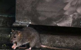 Tòa thị chính Los Angeles 'thất thủ'vì... chuột