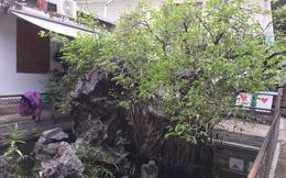 Cận cảnh cây sanh giá chục tỷ đồng của 'bạo chúa miền Trung'