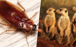 Quà Valentine: Sở thú Mỹ mời bạn đặt tên người yêu cũ cho gián rồi xem nó bị chồn đất ăn thịt
