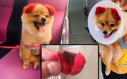 """Ăn theo trào lưu """"nhuộm tai chó màu hồng"""", cô chủ Thái Lan bị chỉ trích vì khiến thú cưng dị ứng đến rụng cả tai"""