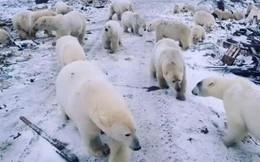 Bị gấu đói 'đổ bộ' theo đàn, quần đảo của Nga ban bố tình trạng khẩn cấp