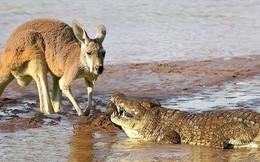Video: Mai phục tài tình, cá sấu dễ dàng tóm gọn kangaroo