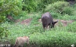 VIDEO: Mải kiếm ăn, trâu rừng bị đàn sư tử 'xơi tái'