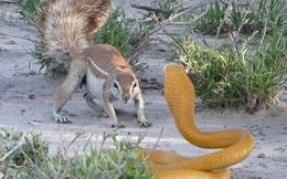 Sốc trước cảnh sóc đất tấn công khiến rắn hổ mang bỏ chạy