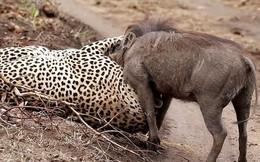 VIDEO: Cuộc chiến sinh tử giữa báo với lợn rừng