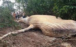 Bí ẩn cá voi khổng lồ chết trong rừng Brazil