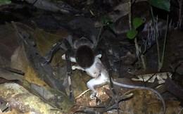 Rợn người hình ảnh những con nhện 'khủng' ăn thịt cả chuột, thằn lằn và ếch