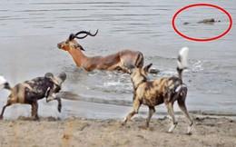 VIDEO: Bị bao vây tứ phía, linh dương chết thảm dưới hồ nước
