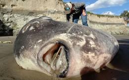 """Cá khổng lồ """"ngoài hành tinh"""" mắc cạn trên bờ biển California"""