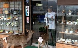"""Hiện tượng """"hươu đi xin đểu"""" tràn lan tại Nhật Bản vô tình giúp quảng bá du lịch nước này"""