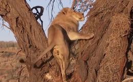 VIDEO: Sư tử trèo cây truy sát báo hoa mai