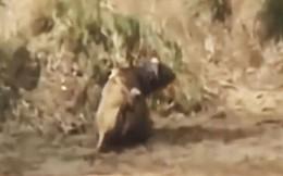 VIDEO: Bắt được trâu rừng, sư tử vẫn phải bỏ chạy vì lý do bất ngờ