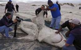 Những thước phim đầu tiên về loại cá voi sát thủ bí ẩn, cực hiếm