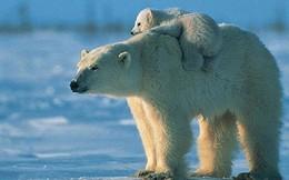 5 loài động vật có nguy cơ tuyệt chủng vì biến đổi khí hậu